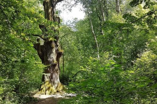 Plener. Las latem. Na pierwszym planie gruby pień drzewa.