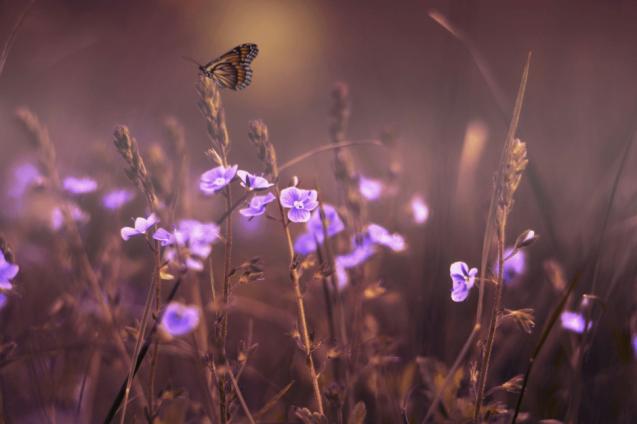 Łąka z fioletowymi kwiatami. Nad jednym z kwiatów lata motyl.